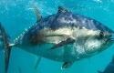 Tuna-Sirip-Biru-Selatan.jpg