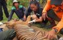 Yanti-dan-Harimau-Sumatera-yang-Sekarat.jpg