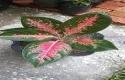bunga-aglonema.jpg