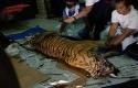 harimau-mati-terjerat-di-kuansing.jpg