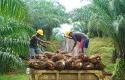 pekerja-di-perkebunan-sawit.jpg