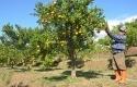 petanu-jeruk.jpg