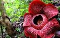 raflesia-arnoldii-bengkulu1.jpg